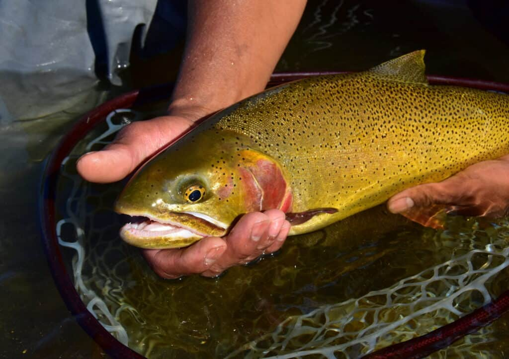Can I Catch Trout By Fly Fishing?