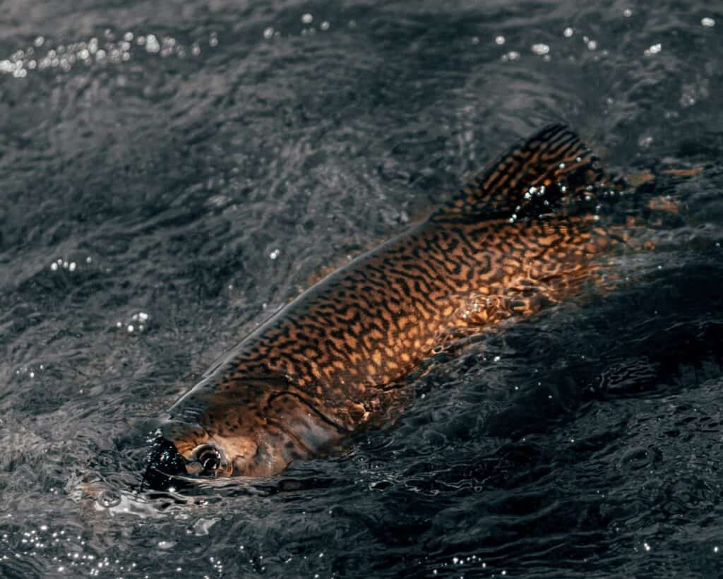 What's the Difference Between Trout and Salmon?