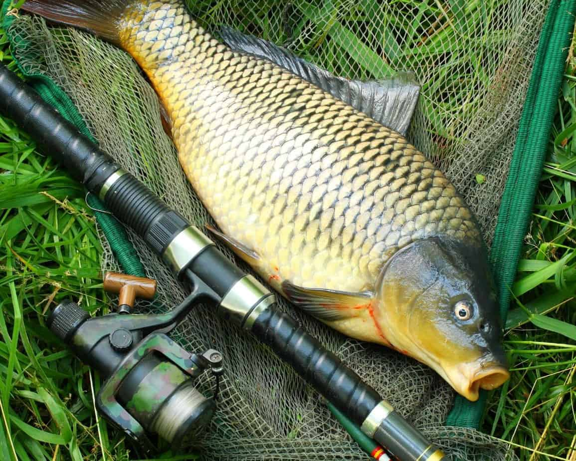 Are Carp Good To Eat?