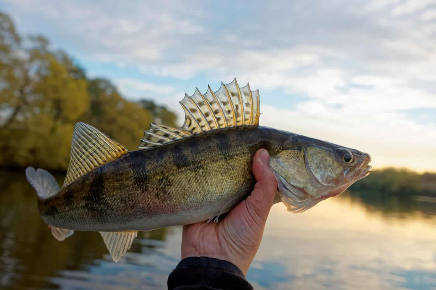 What Is The Difference Between Walleye And Pickerel?