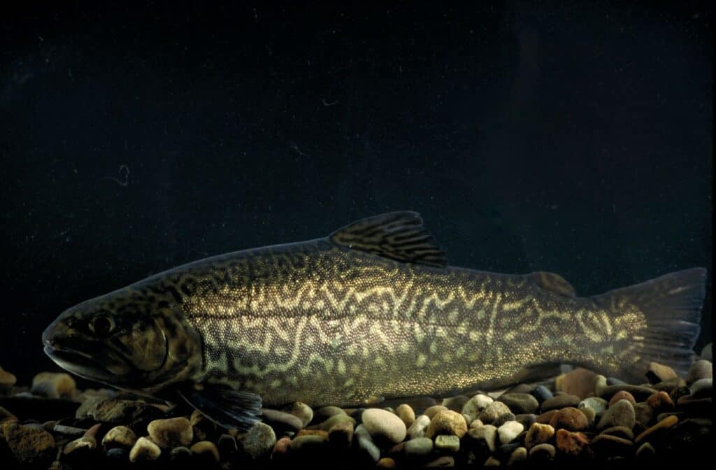 What is a Tiger trout?
